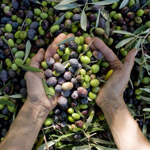 Olive-hand